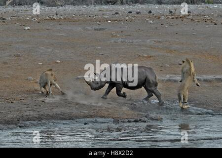 This Black Rhino has stumbled into a cavity and tipped into the water point. After many difficulties given the apic - Stock Photo