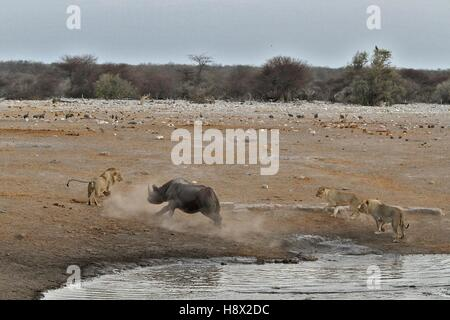 This Black Rhino has stumbled into a cavity and tipped into the water point. After many difficulties given the sheer - Stock Photo