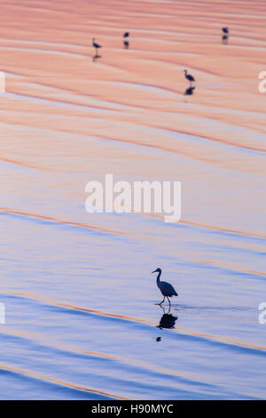 Vertical scene of egret walking on colorful water surface during golden hour in morning. - Stock Photo