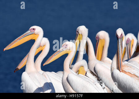 Pelican flock rest on ground - Stockfoto