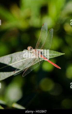 Male Common Darter, Sympetrum striolatum, sunbathing on leaf, Andalusia, Spain - Stock Photo