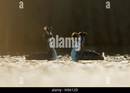 Great Crested Grebes / Haubentaucher ( Podiceps cristatus ) courting, in love, flicking back feathers, early morning - Stock Photo