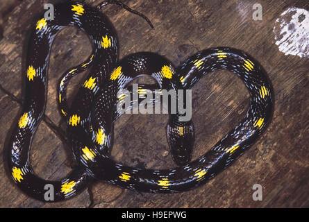 Lycodon Striatus. Shaw's/Striated Wolf snake. Non venomous. Maharashtra, India. - Stockfoto