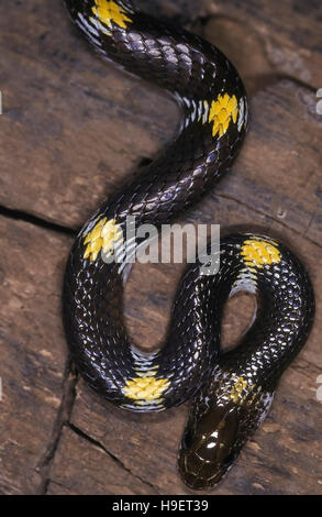 SHAW'S WOLF SNAKE Lycodon striatus.Close up of head and neck. Specimen from Pune district, Maharashtra, India. - Stock Photo