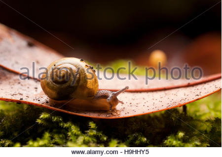 Close up of common garden snail Helix Aspersa on Autumn Fall leaf - Stock Photo