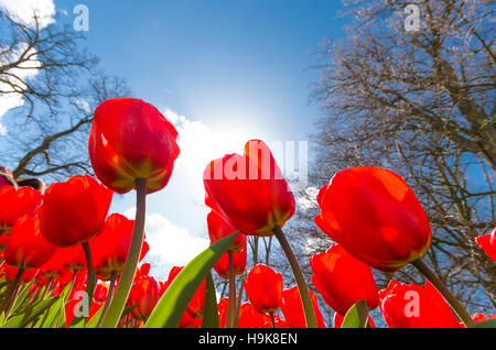 low angle view of blooming red tulips against a blue sky - Stock Photo