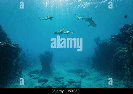 Three blacktip reef sharks underwater swimming between the ocean floor and the surface, Pacific ocean, French Polynesia - Stock Photo