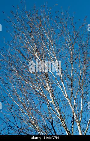 Glistening in winter sunshine the bark of a silver birch Betula utilis var jacquemontii 'Silver Shadow' - Stockfoto