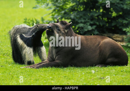 Giant Anteater and Southamerican Tapir - Stockfoto
