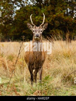Understand mature male red deer idea))))