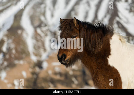 Portrait from an Icelandic horse in Iceland - Stock Photo