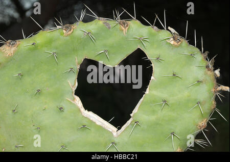 Heart shape carved into a cactus - Stock Photo