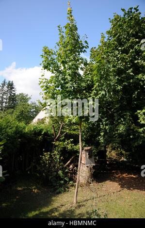 "Sugar Maple Tree - Acer saccharum ""Legacy Stock Photo, Royalty Free Image: 56422218 - Alamy"