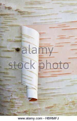 Betula utilis var. jacquemontii 'Ramdana River' Himalayan Birch tree - peeling white bark - Stock Photo