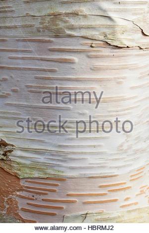 Betula utilis var. jacquemontii 'Ramdana River' Himalayan Birch tree - white bark - Stock Photo