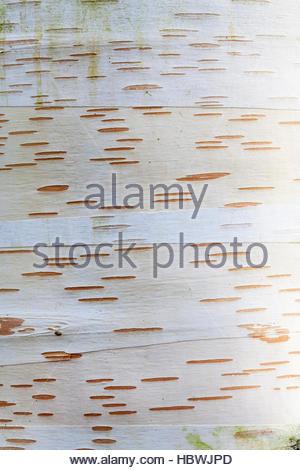 Betula utilis var. occidentalis 'Kyelang' – white tree bark detail - Stock Photo