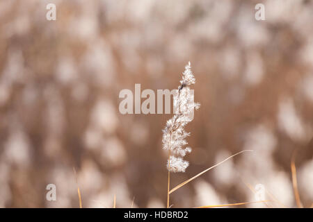 white common reed with blured background - Stock Photo