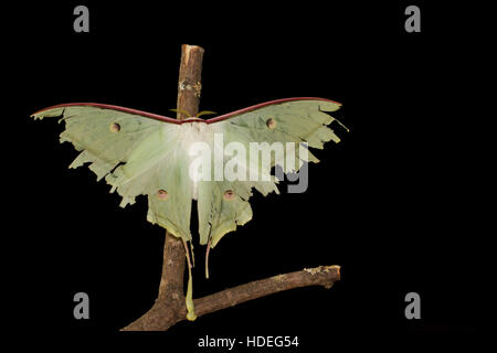 Indian moon moth - Stock Photo