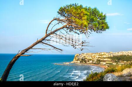 peschici gargano italy aleppo pine tree lashed wind mediterranean - Stock Photo