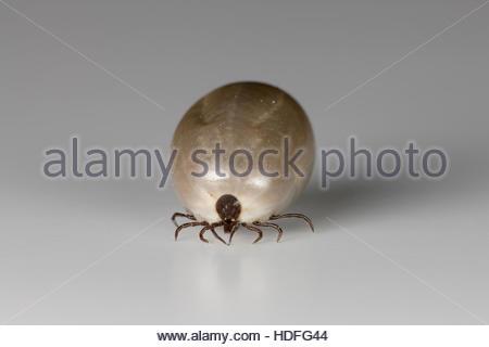Castor Bean Tick (Ixodes ricinus) - Stock Photo