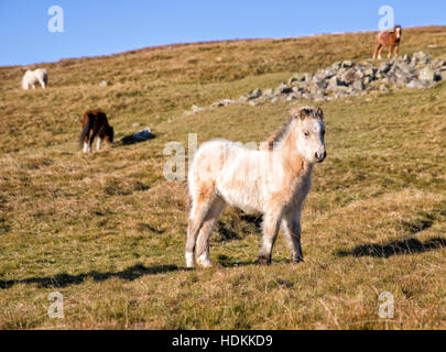 Brecon pony foal and other members of his family herd in moorland on the Brecon Beacons in South Wales UK - Stock Photo