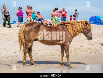 A Wild pony, horse, of Assateague Island, Maryland, USA on the beach. There are people on the beach watching the - Stockfoto
