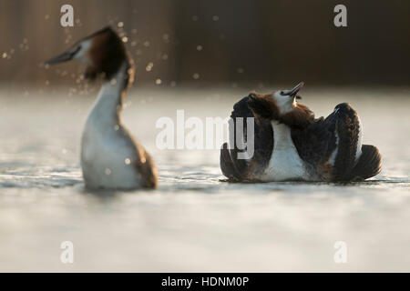 Great Crested Grebes ( Podiceps cristatus ) courting couple, emerging from diving, rearing out of the water, cat - Stock Photo