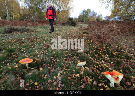 Adult Male Walker in Autumn Woodland, Sherwood Forest SSSI, Nottinghamshire, England, Britain - Stock Photo