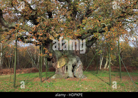 Autumn colours over the Major English Oak Tree, Sherwood Forest SSSI, Nottinghamshire, England, Britain, UK - Stock Photo