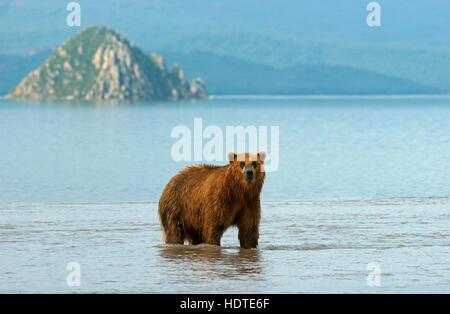 kamchatka brown bear ursus arctos beringianus cubs