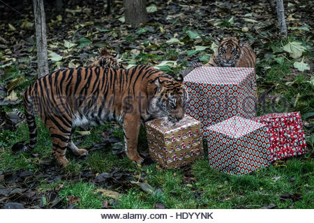 London, Uk. 15th Dec, 2016. A tigers plays around with wrapped Christmas gifts at ZSL London Zoo on December 15, - Stockfoto