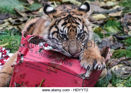 London, Uk. 15th Dec, 2016. A tigers plays around with wrapped Christmas gift at ZSL London Zoo on December 15, - Stockfoto