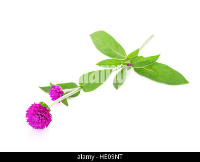 globe amaranth beauty flower isolated on white - Stock Photo