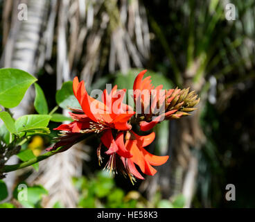 Flametrees (Brachychiton acerifolius) have become invasive on Lord Howe Island, New South Wales, NSW, Australia - Stock Photo