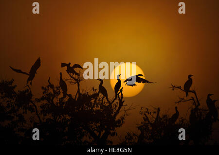 Kathmandu, Nepal. 18th Dec, 2016. Migrated birds, Neotropic Cormorant are silhouetted during a misty morning as - Stock Photo
