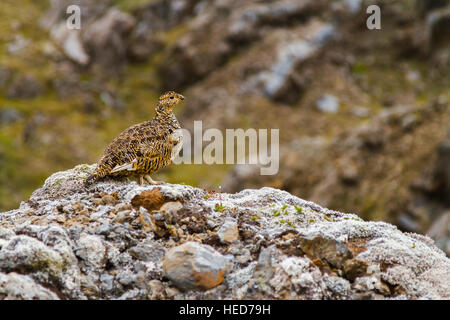 Rock Ptarmigan (Lagopus muta). Landmannalaugar region.  Highlands. Iceland, Europe. - Stock Photo
