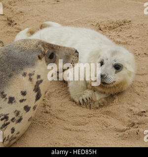 Grey seal pup with its mother, Horsey, Norfolk, UK - Stock Photo