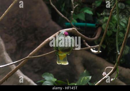 Mariana fruit dove (Ptilinopus roseicapilla) on a perch - Stock Photo
