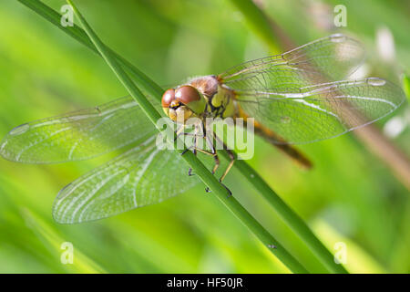 Newly emerged Common Darter dragonfly (Sympetrum striolatum), Cambridgeshire, England, UK. - Stock Photo