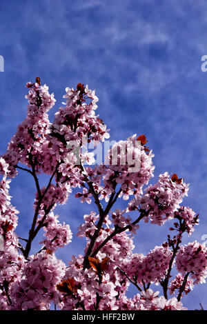 Pink and white Japanese Plum blossoms against the blue New Mexico sky - Stock Photo