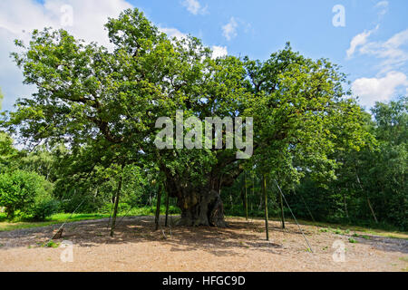 Standing tall and proud in a clearing in Sherwood Forest, the Major Oak looks beautiful in its green foliage. - Stock Photo