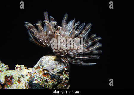 Feather star (Dichrometra flagellata) underwater in the red sea - Stock Photo