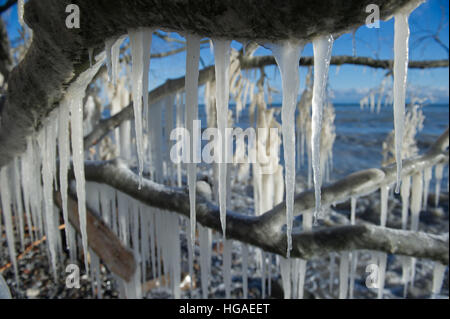 Sassnitz, Germany. 06th Jan, 2017. Impressive icicles hang from the branch of a tree after storm tides in the Baltic - Stock Photo