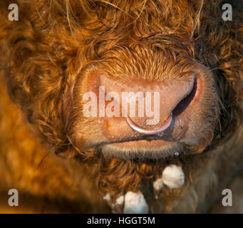 Close up of Highland Cattle Bull with ring in nose at Cley Norfolk in snow - Stock Photo