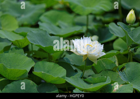 Flower of Lotus in a thicket of foliage - Stockfoto