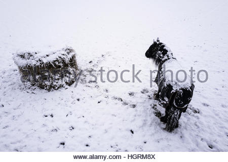 Selkirk, Scottish Borders, UK. 12th January 2017. A pony in a winter New Zealand rug in the snow on the outskirts - Stockfoto