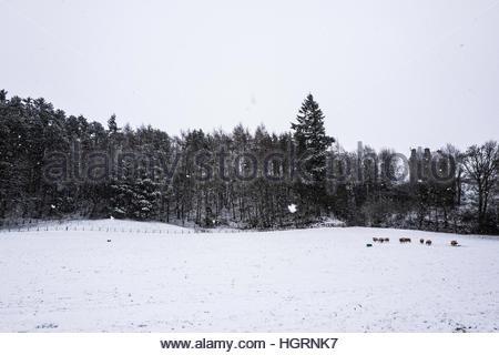 Aikwood, Ettrick Bridge, Selkirk, Scottish Borders, UK. 12th January 2017. Snow falls over  in the uplands of the - Stockfoto