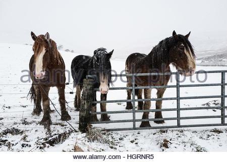 Gilmanscleugh, Ettrick Bridge, Selkirk, Scottish Borders, UK. 12th January 2017. Horses endure heavy snowfall in - Stockfoto