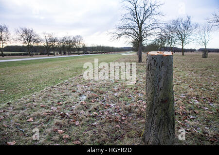 Windsor, UK. 13th January, 2017. One of several freshly-felled horse chestnut trees forming part of a famous avenue - Stock Photo