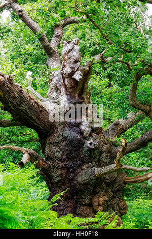 A decaying, broken, gnarled, misshapen old Oak tree standing in a forest takes on the look of some strange creature. - Stock Photo